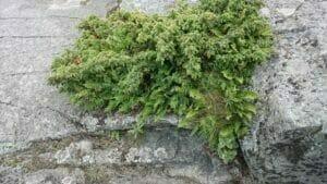 reposaari kataja kalliolla